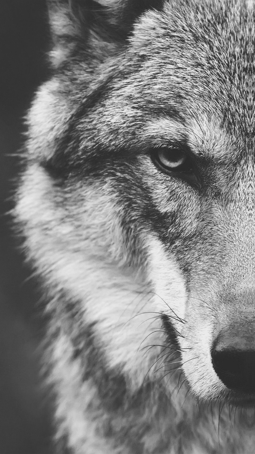 Animal Wolf 1080x1920 Mobile Wallpaper Iphone