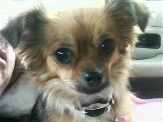 Emma Is A 3 Year Old Long Haired Chihuahua Smartest Dog She Is