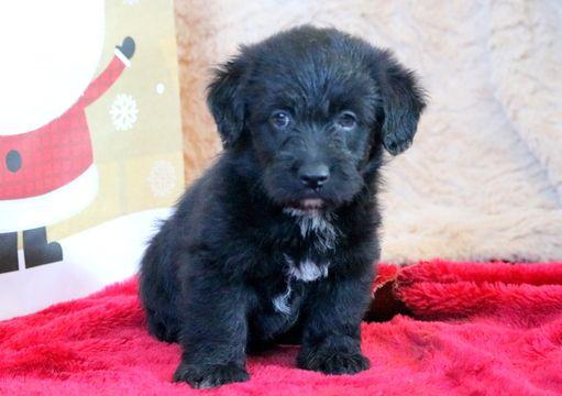 Pembroke Welsh Corgi Poodle Miniature Mix Puppy For Sale In