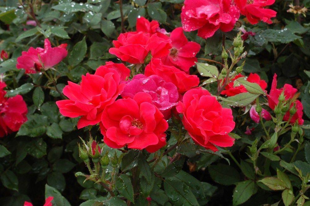Knockout Roses Modern #knockoutrosen Knockout Roses Modern #knockoutrosen Knockout Roses Modern #knockoutrosen Knockout Roses Modern #knockoutrosen