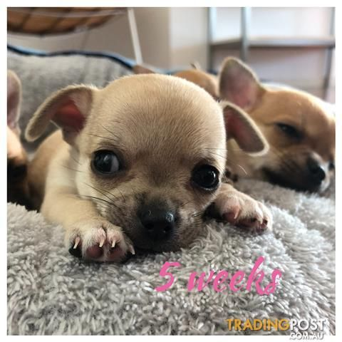 Pin by Maggie Simpson on dogs and puppies Chihuahua