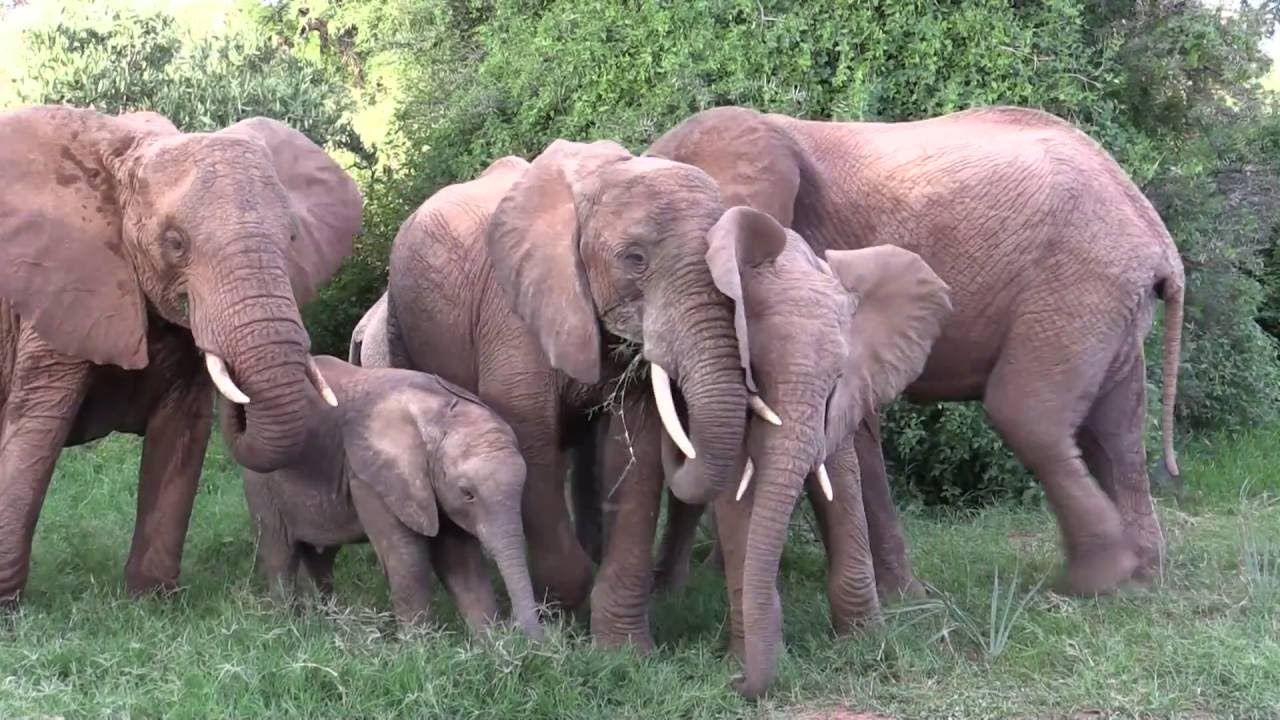 Save the elephants a wonderful video about elephant conservation