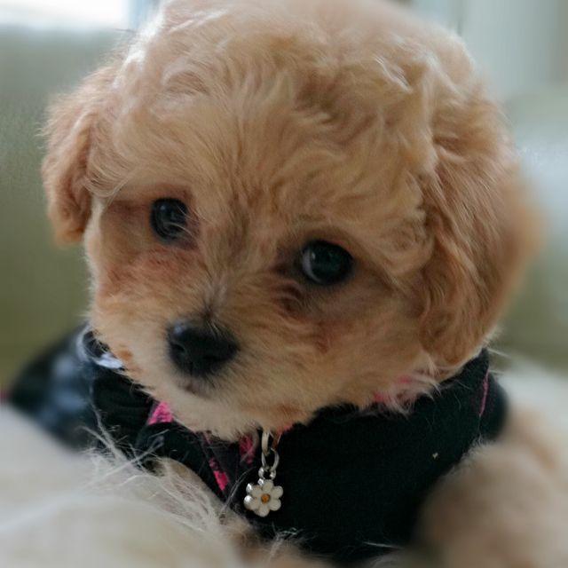 Poodle Chihuahua Sandy Pets Poodle Dogs Poodle Mix