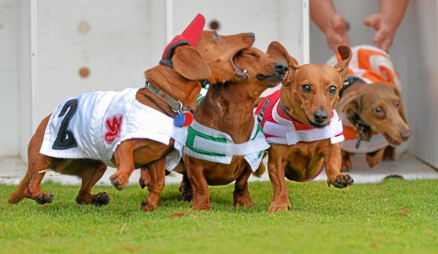 Dachshund Racing Wiener National Oh Competitive Little Booger