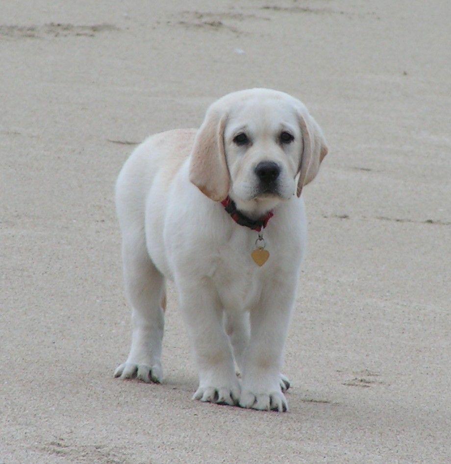 Labrador Retriever - Intelligent and Fun Loving | Puppys, English ...