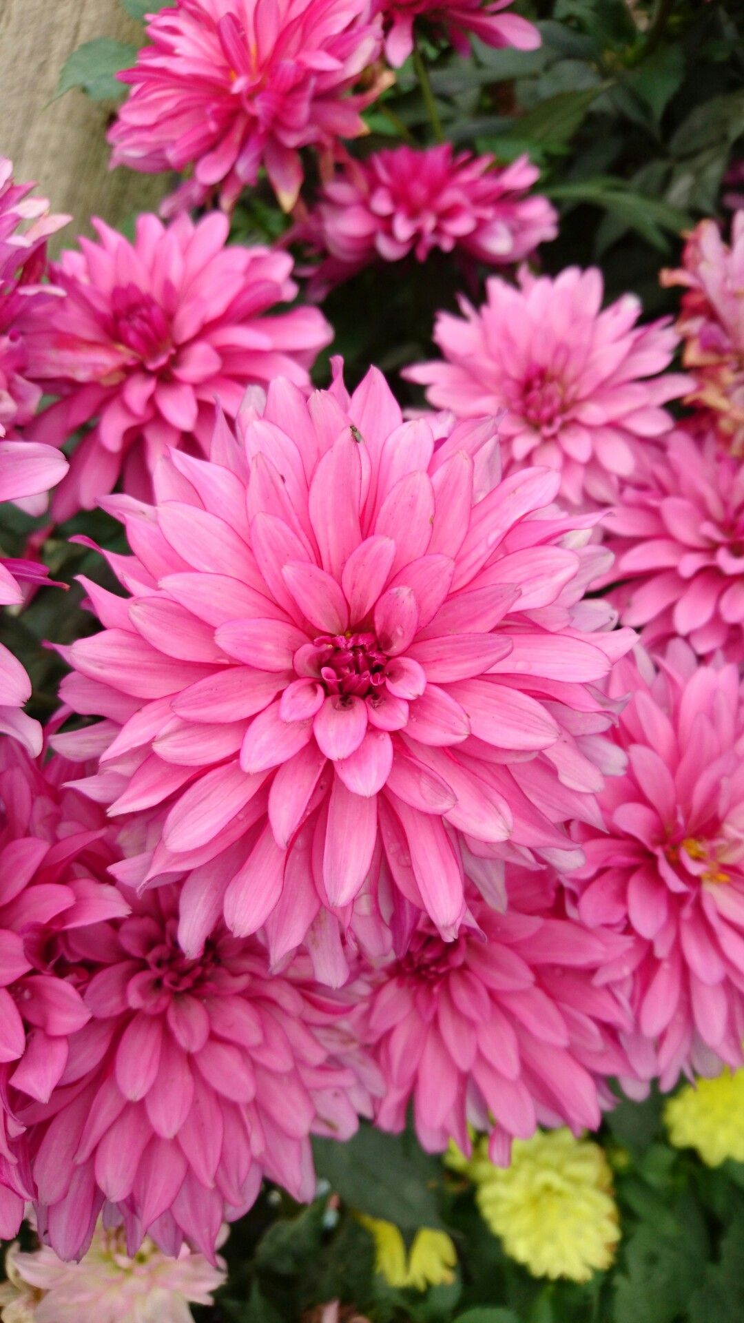 Pin By Helena Santander On Flowers Pinterest Flowers Dahlia And