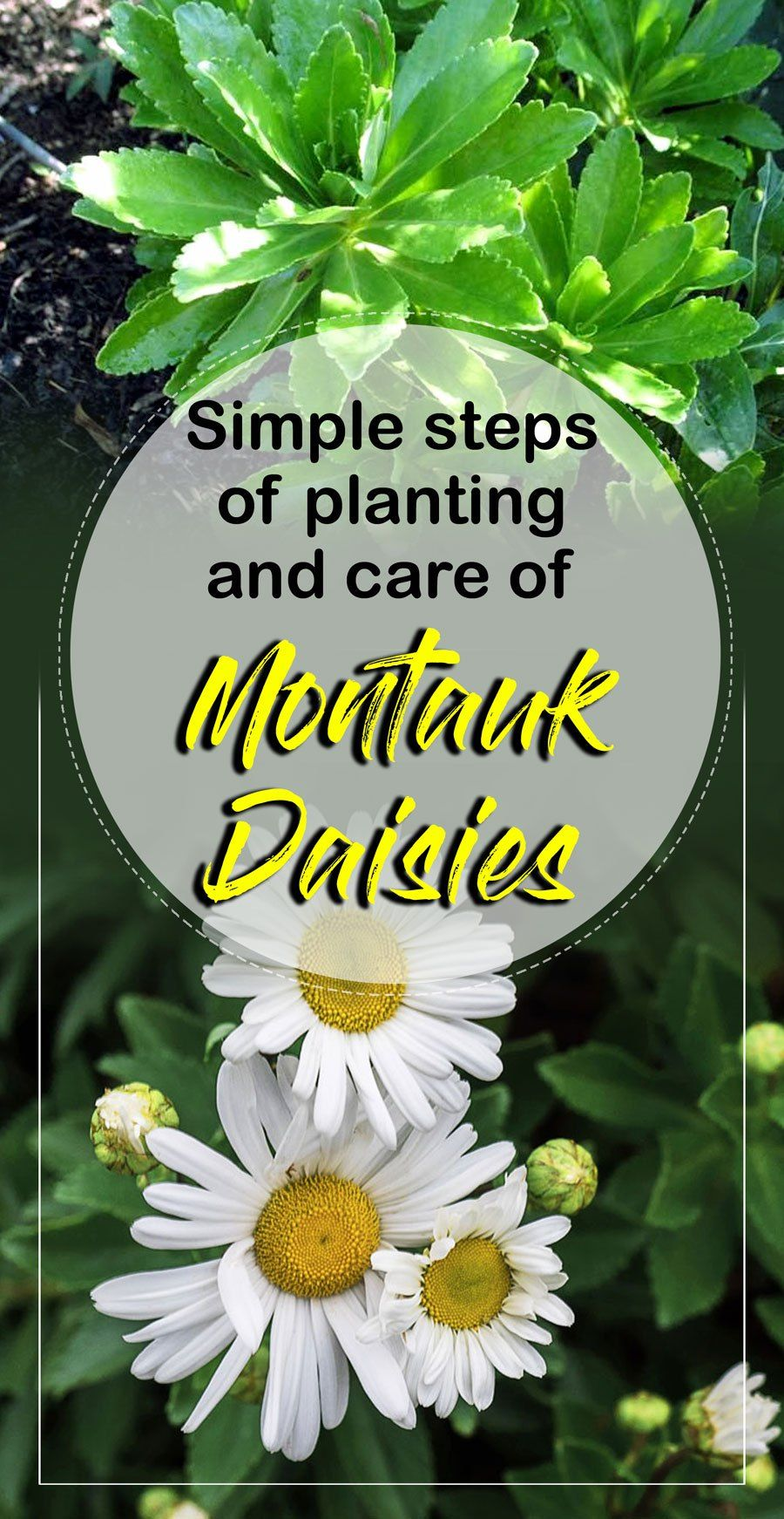 Montauk Daisies Planting And Care Simple Steps Garden And
