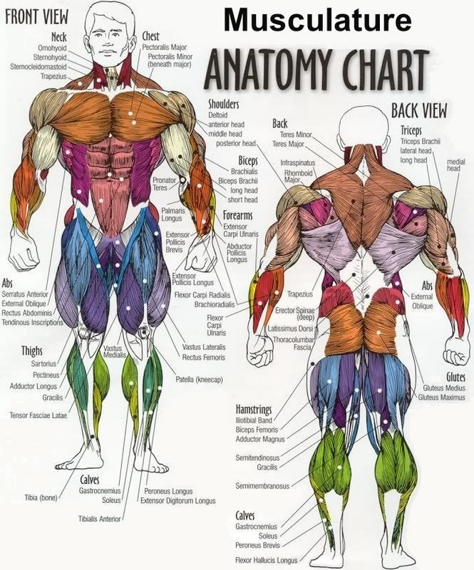 musculature anatomy chart in color | learn more about musculature, Human Body