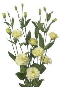 Eustoma creme/weiß http://www.flowerbusters.ie/upload_dir/products/products_photo/eustoma_lysianthus_cream_product142.jpg