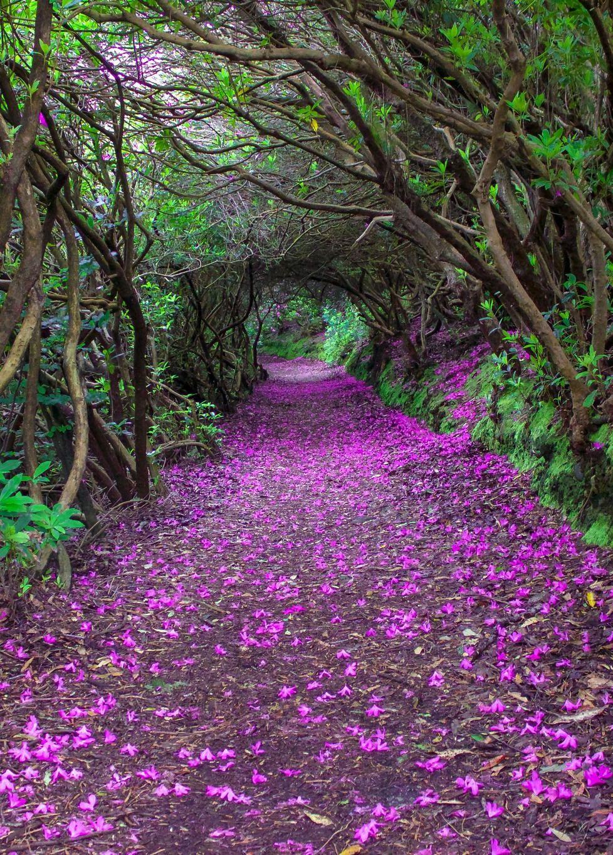Natural Rhododendron Tunnels In Reenagross Park Kenmare Ireland Le Chemin Du Plaisir Schone Landschaften Irland Landschaft Naturbilder