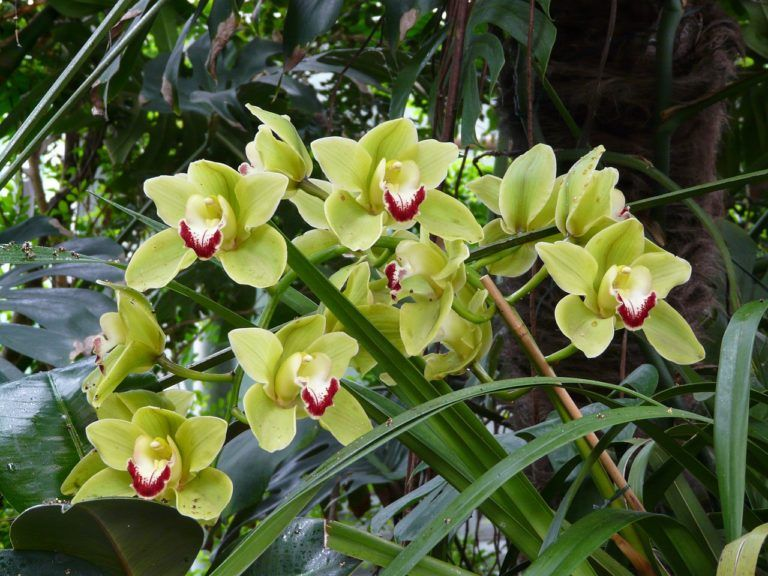 Green Cymbidium Orchid Green Orchid Green Flower Pictures Orchid Flower