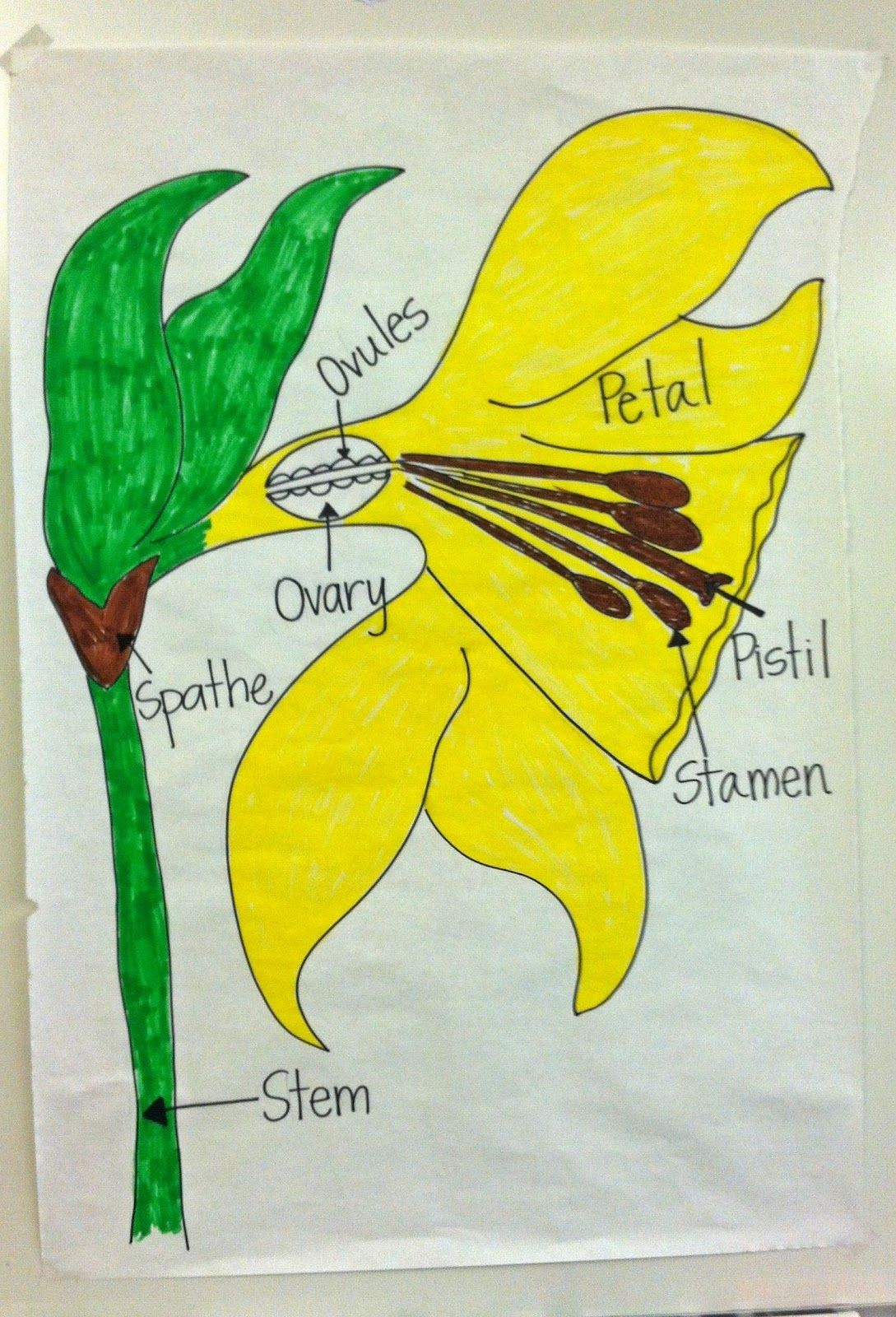 Parts Of A Daffodil Flower Flower Diagram I Drew For My Kids To