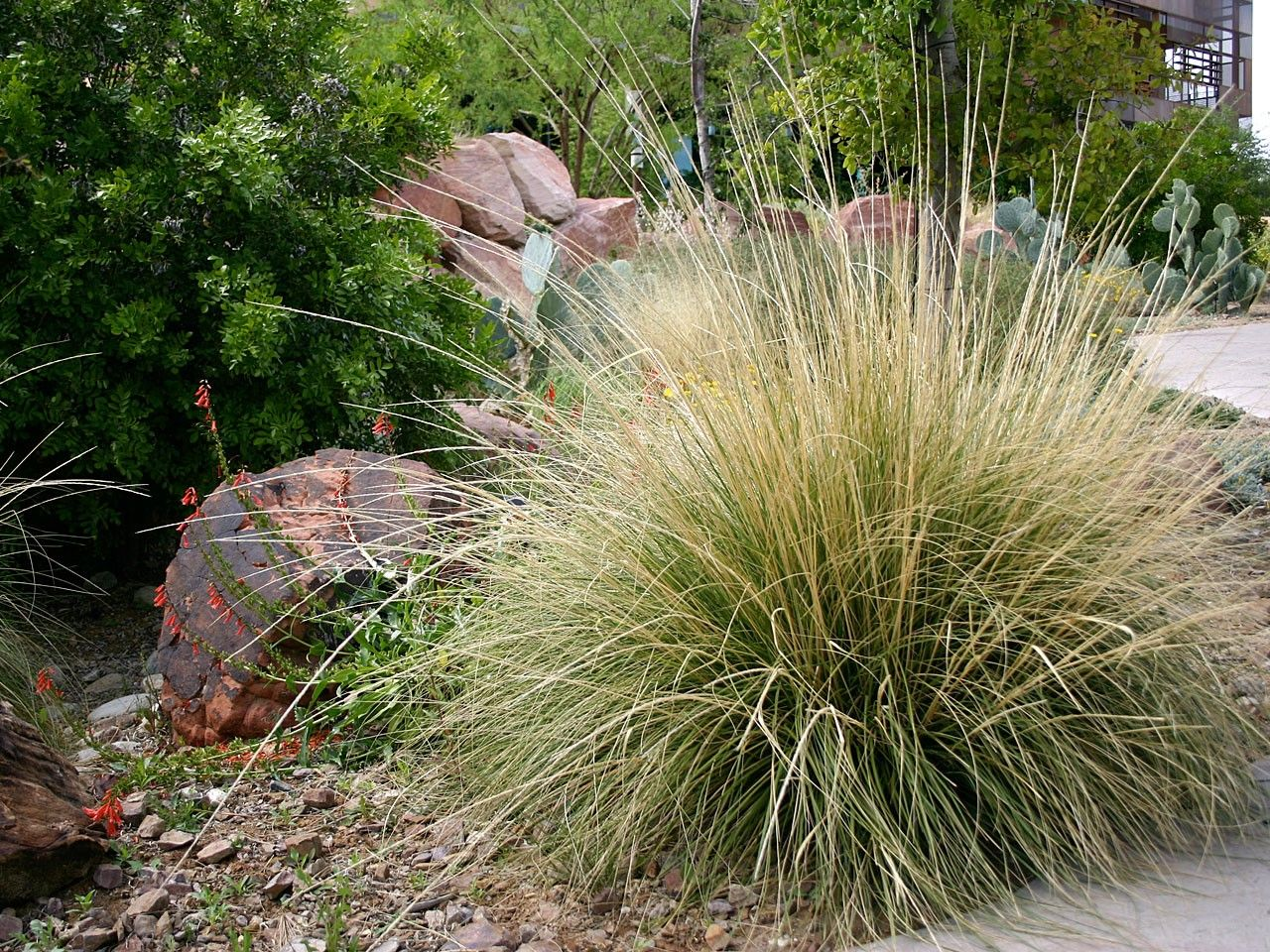 Picture of Live Deer Grass aka Muhlenbergia rigens Plant Fit 5 Gallon Pot