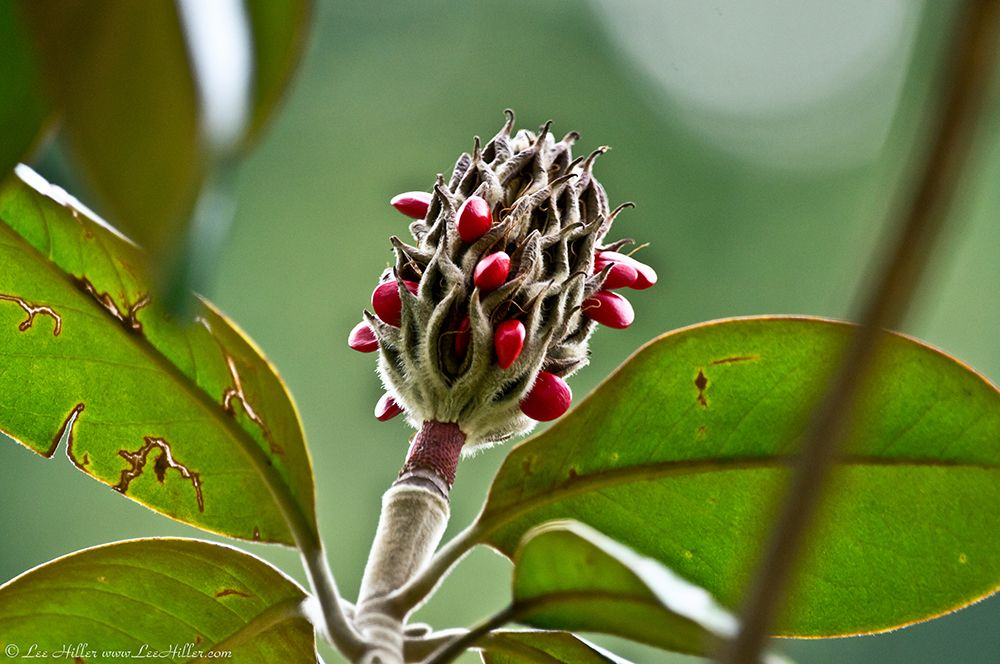 """""""Going to Seed"""" Southern Magnolia  by Lee Hiller #Photography #Nature #Flowers #HikeOurPlanet"""
