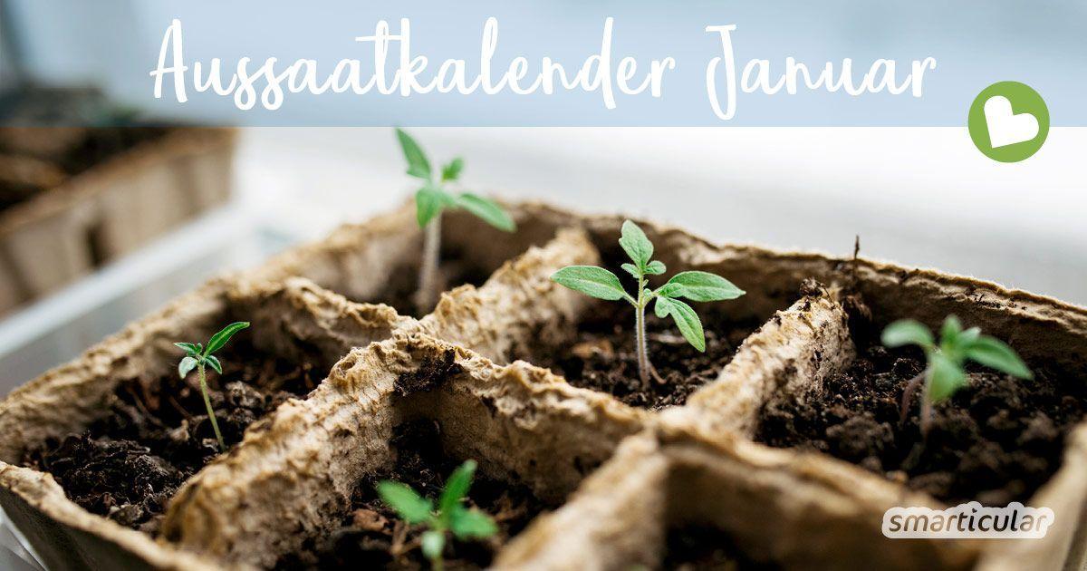 Garten Aussaatkalender Fur Januar Diese Gemuse Krauter Und Blumen Jetzt Saen Aussaat Kalender Blumenzwiebeln Gartenarbeit Fur Anfanger