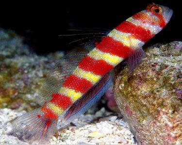 Wheeler S Shrimp Goby Marine Fish Family Pet Ocean Creatures