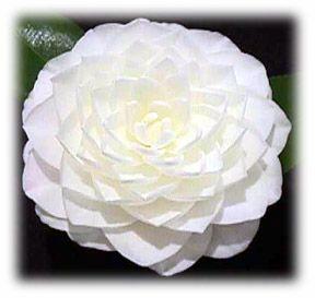 Fragrant white camellia japonica flower power pinterest fragrant white camellia japonica mightylinksfo