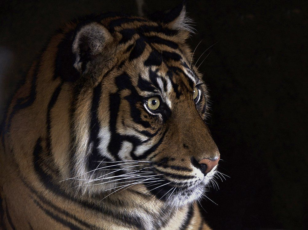 Tiger in the darkness