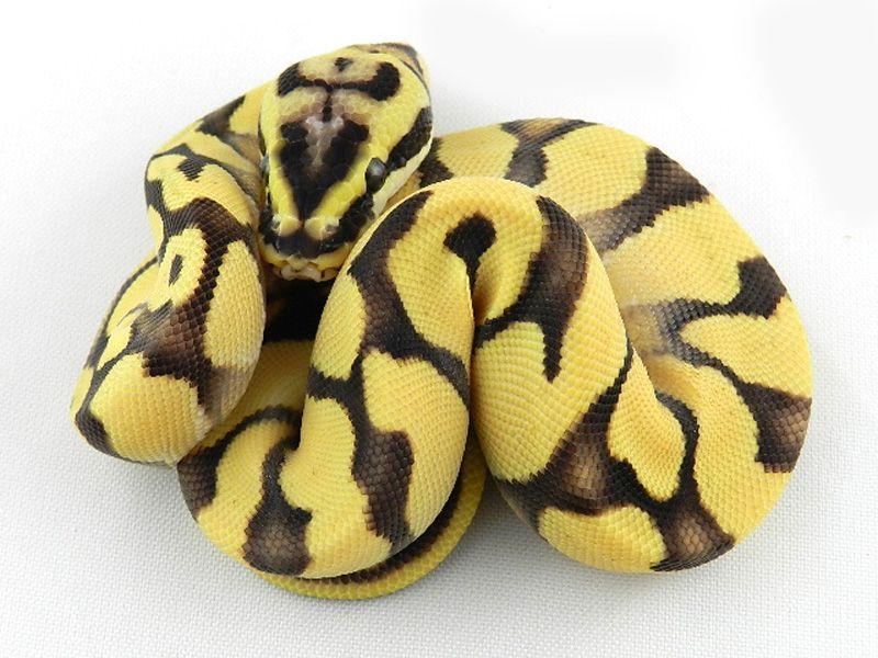Triton Enchi Fire Orange Dream Pastel Oh My I Want Snake