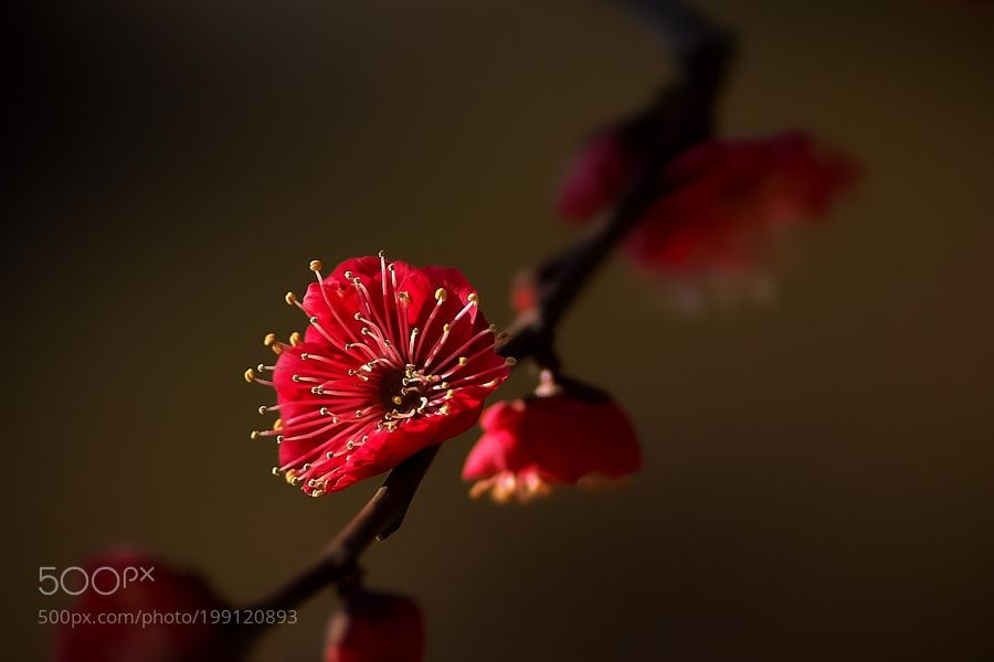 Red plum by Akiatoshiaki
