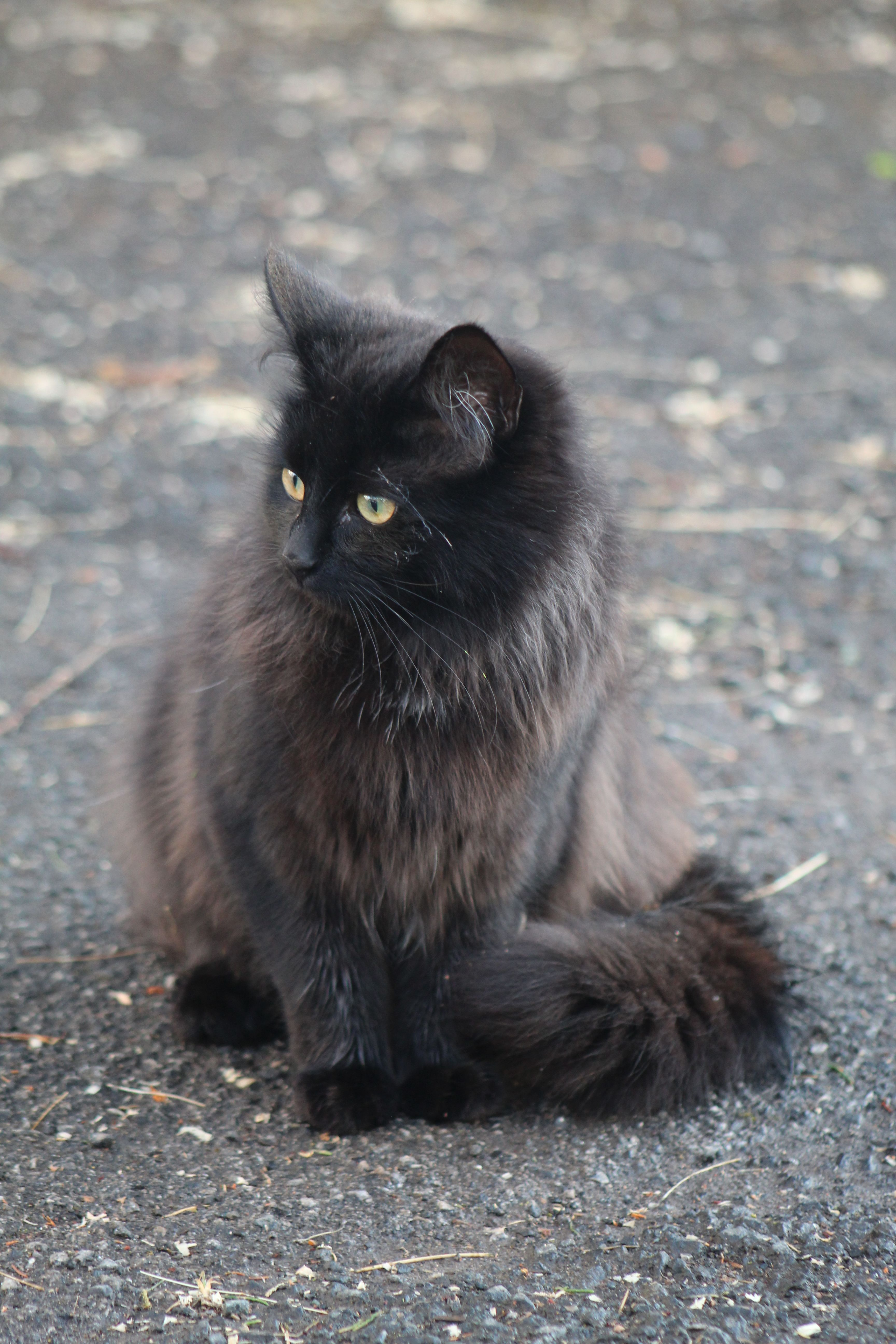 Mischka Chantilly Tiffany In 2020 Cats And Kittens Cat Breeds Cute Cats