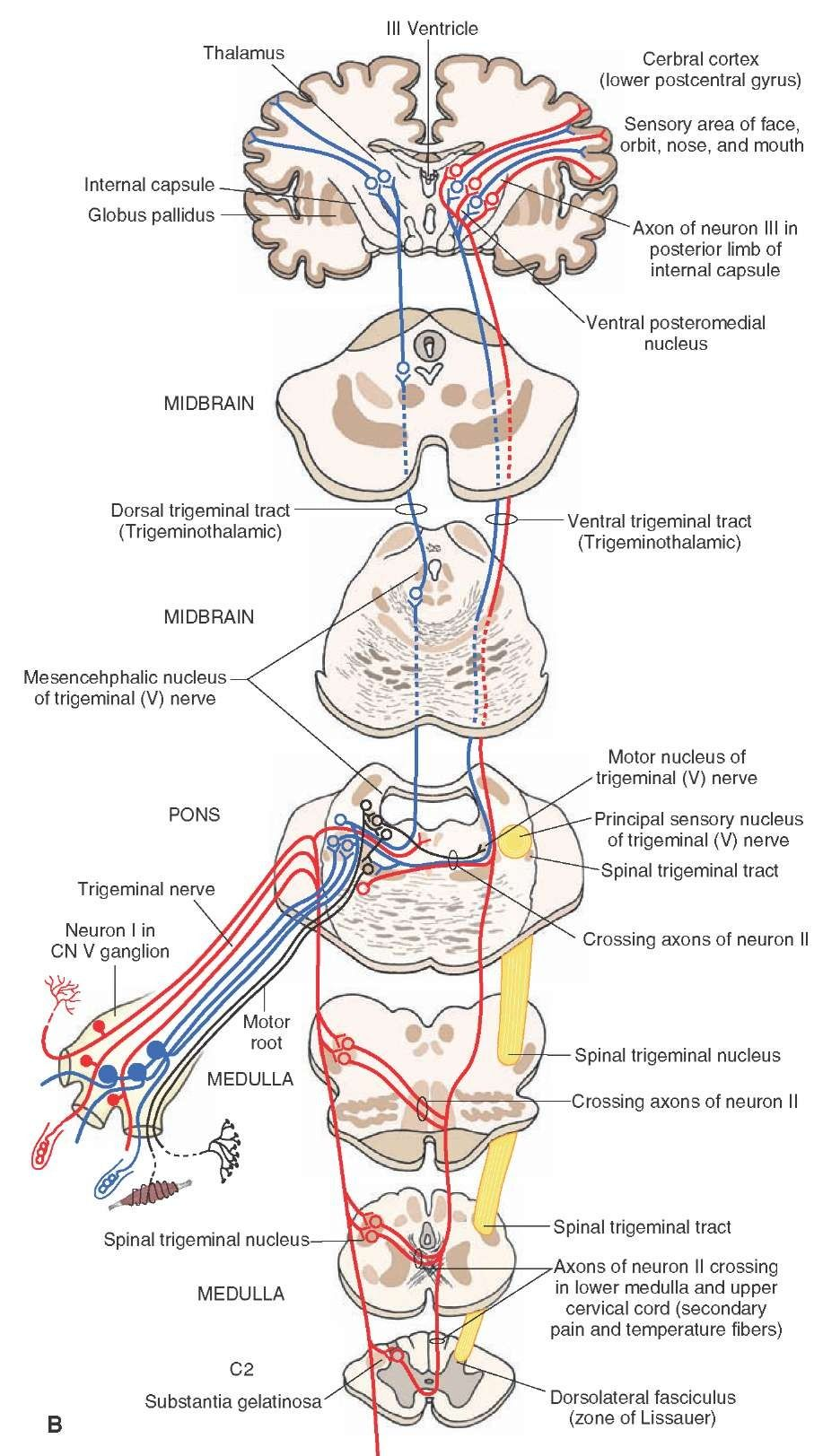 hight resolution of the cranial nerves organization of the central nervous system part 3