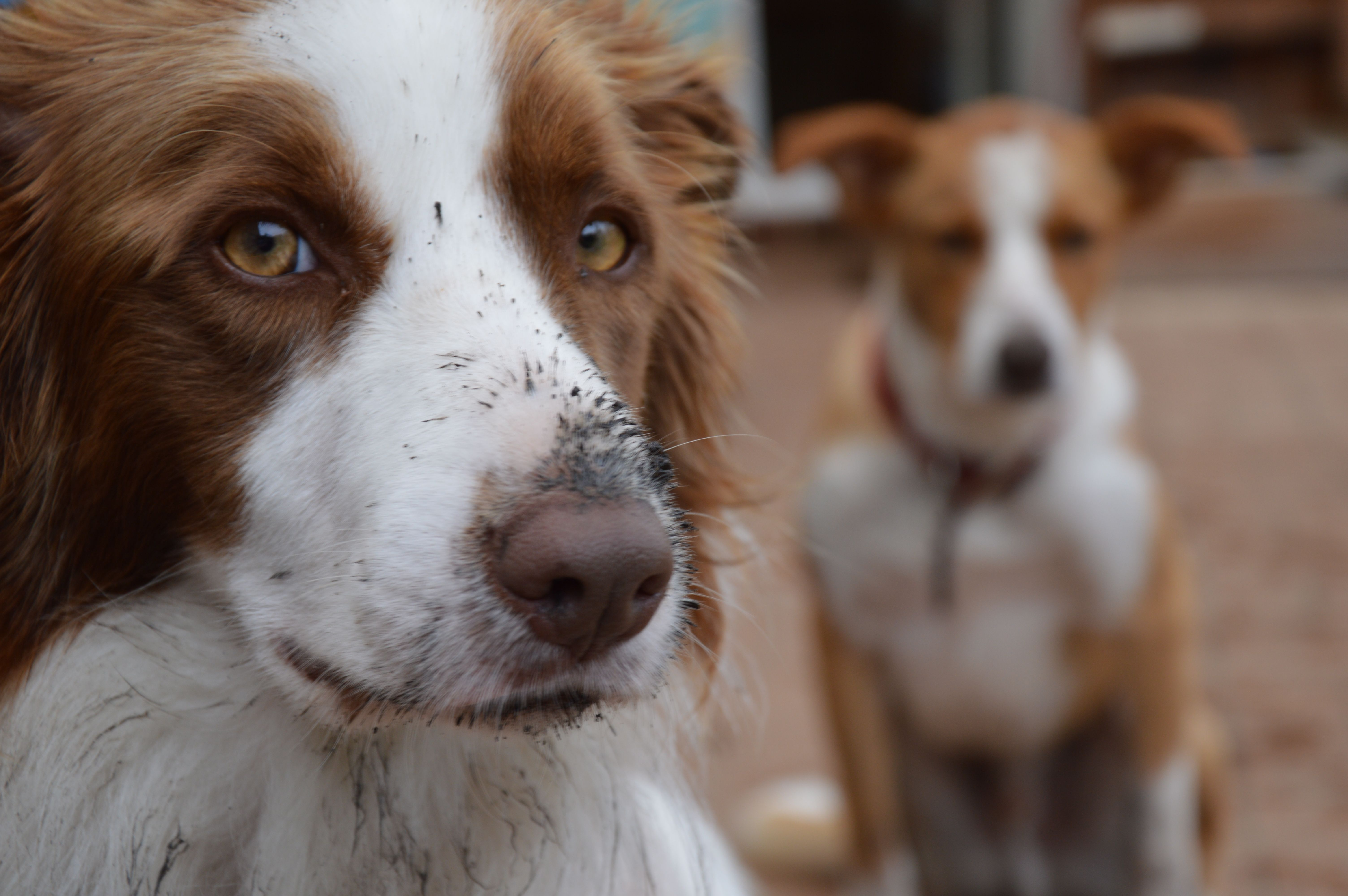 My Border Collies after digging holes. Border collie
