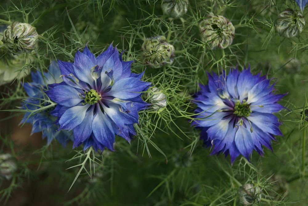 Love In A Mist What You Need To Know To Successfully Grow Nigella Damascena Indigo Flower Flower Garden Plans Flower Seeds