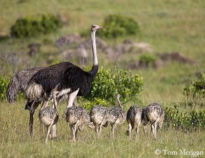 Autruche d 39 afrique oiseau pinterest autruches - Bebe autruche ...