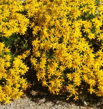 Damianita Enjoy Its Masses Of Golden Flowers As An Easy Care Ground Cover Or Appreciate The Aroma O High Desert Landscaping Desert Landscaping Backyard Plants