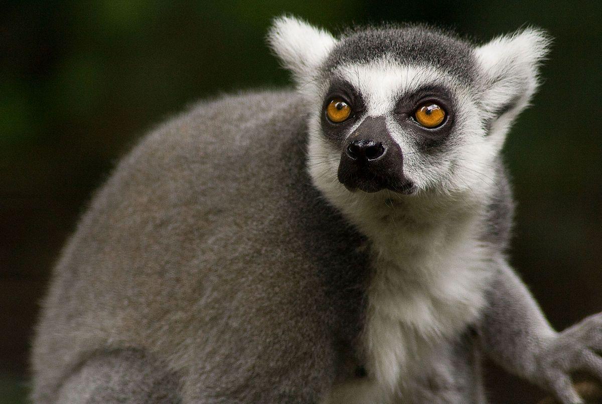 Lemuridae Wikipedia Rainforest animals, Lemur