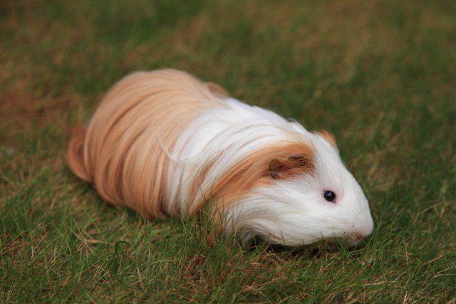 silky guinea pigs   Guinea_pig_silkie_0007