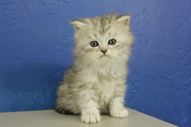 Beau Silver Tabby Ragamuffin Cat Kitten From Www Ragdollkitten Us Ragdoll Kittens For Sale Ragdoll Kitten Cute Cats And Kittens