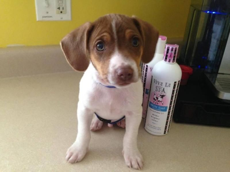 Adopt Winston On Rat Terriers Beagle Mix Puppies Rat Terrier Mix