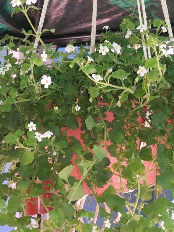 Bacopa Planta herbacea anual, de habito de crecimiento rastrero, muy