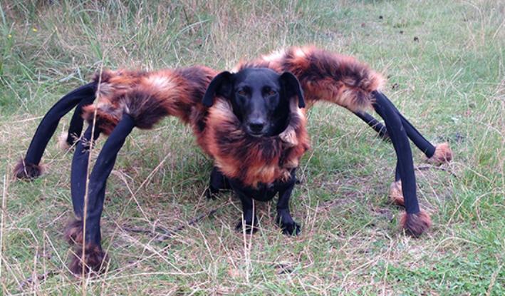 A Dog In Tarantula Costume Is