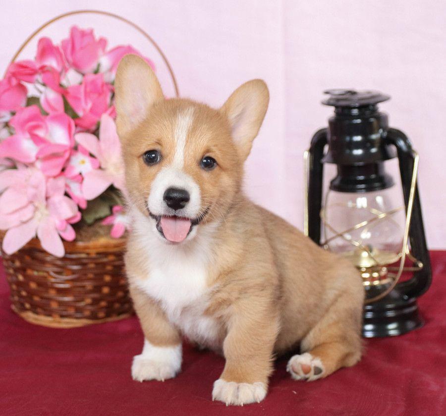 Pembroke Welsh Corgi Puppies For Sale Welsh Corgi Puppies Corgi