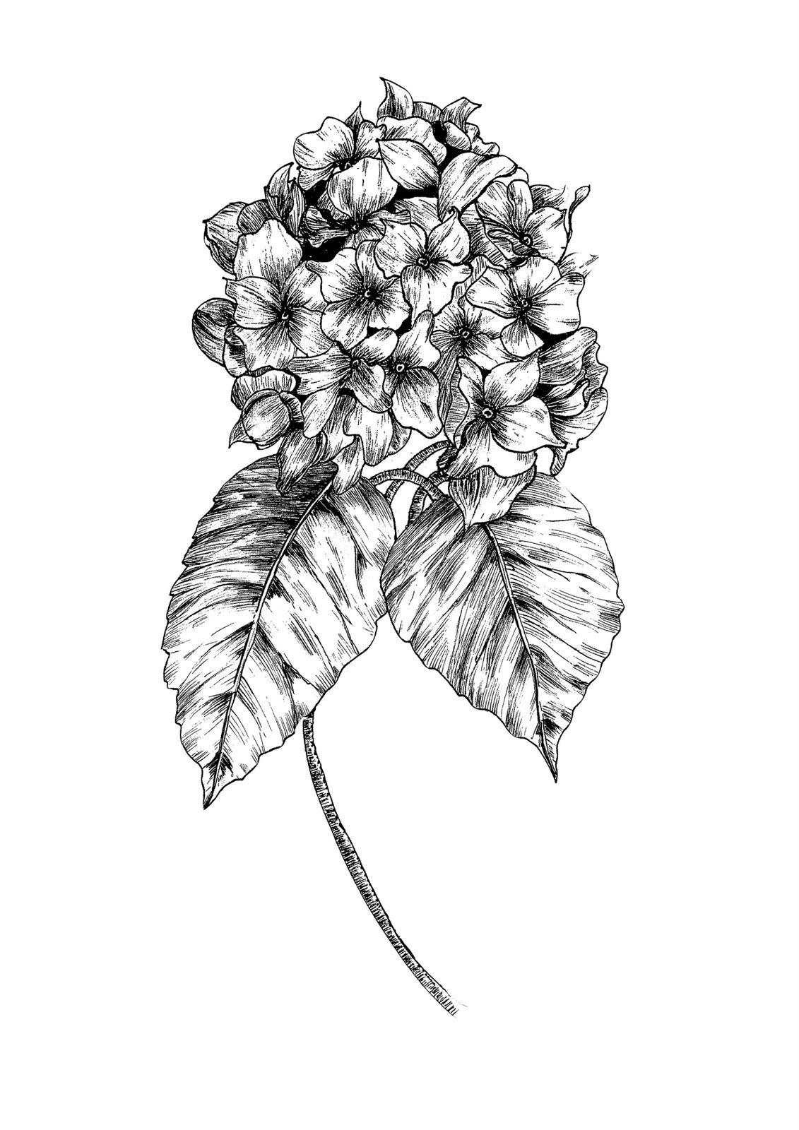Hydrangea 3 Bloemen Vogels Kleurplaten