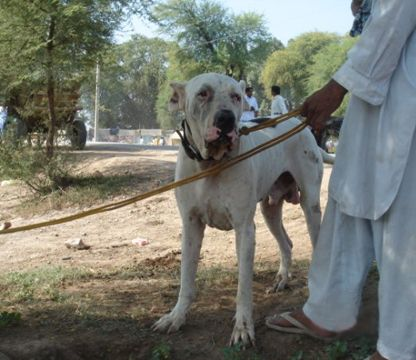 The Bully Kutta History The Persian Army Used Indian Mastiffs
