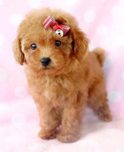 Cute Brown Toy Poodle Brown Toy Poodle Dog Snacks Poodle