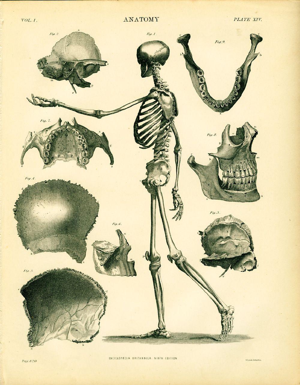 Anatomyxivg 10001285 Anatomical Illustration Pinterest