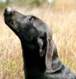 Exceptional British, Irish and American Labrador Retrievers