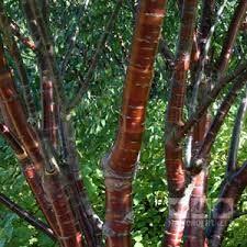 Copper Bark Birch Tree Google Search Flowering Cherry Tree Cherry Tree Tree Uk