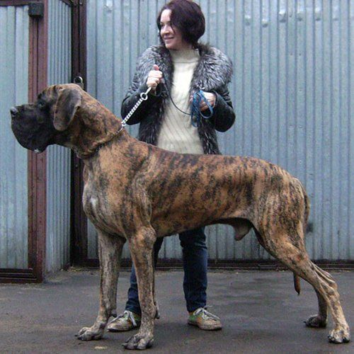 Great Dane Great Dane Great Dane Dogs Dog Breeds
