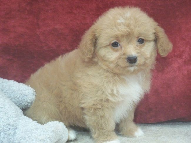 Yorkie Poo Puppies For Sale In Michigan Cute Puppies Yorkie Poo Puppies Yorkie Poo Puppies