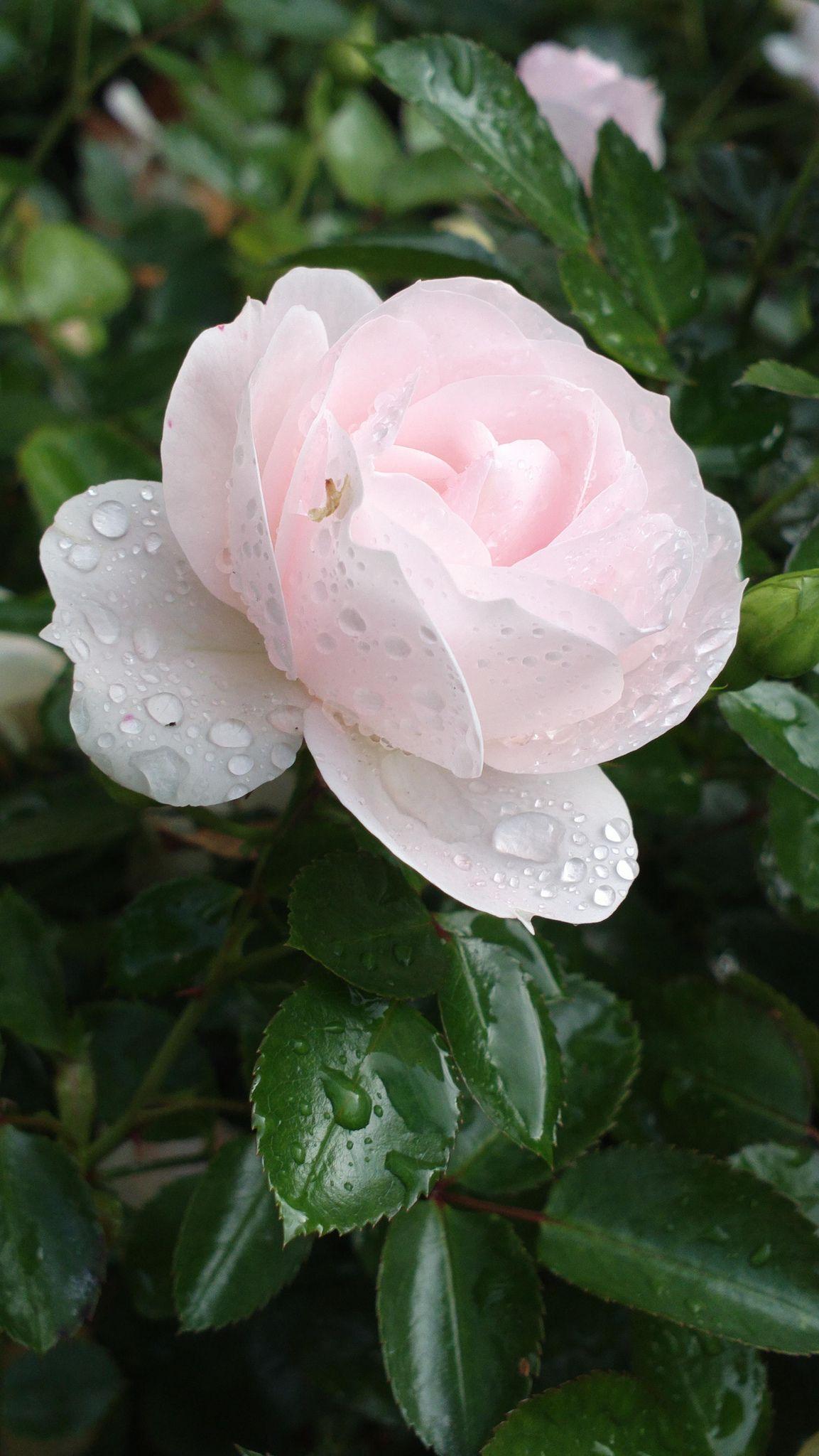 raindrop decorated aspirin aspirin rose and flowers. Black Bedroom Furniture Sets. Home Design Ideas