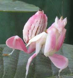 An Orchid Mantis Next To The Butterfly Possibly The Most Beautiful Insect I Have Ever Seen Thank You Lord Praying Mantis Orchid Mantis Orchids