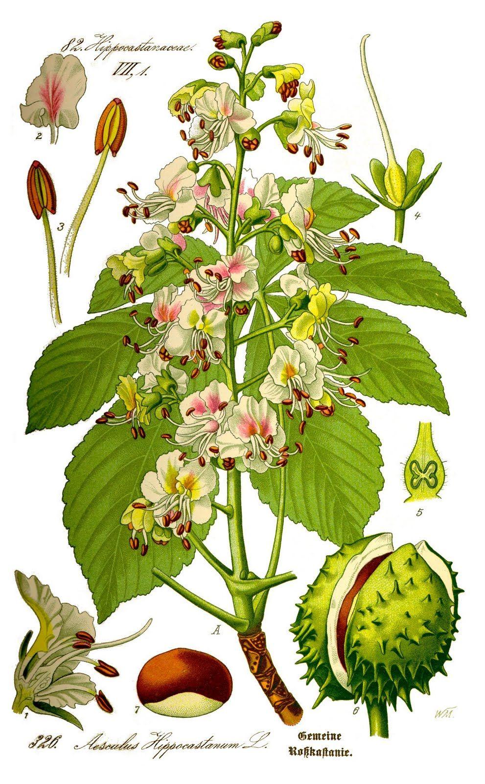 Aesculushippocastanum Botanical Print Lithograph Flowers White