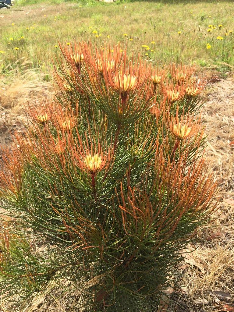 Carex Bronze Reflection: Gardenista
