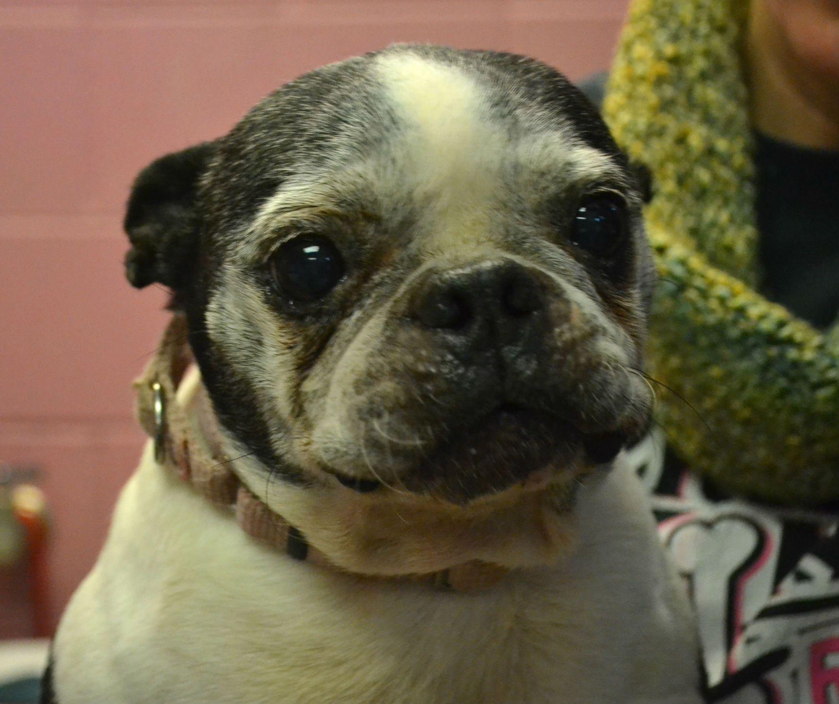 Boston Terrier dog for Adoption in Akron, OH. ADN443910